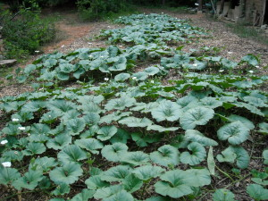 gourd plants in mid-season, ready for pollination