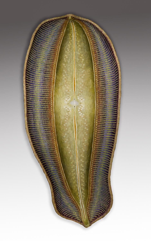 Diatom 6, 25.5 x 11.5 x 5 inches