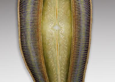 Diatom 6
