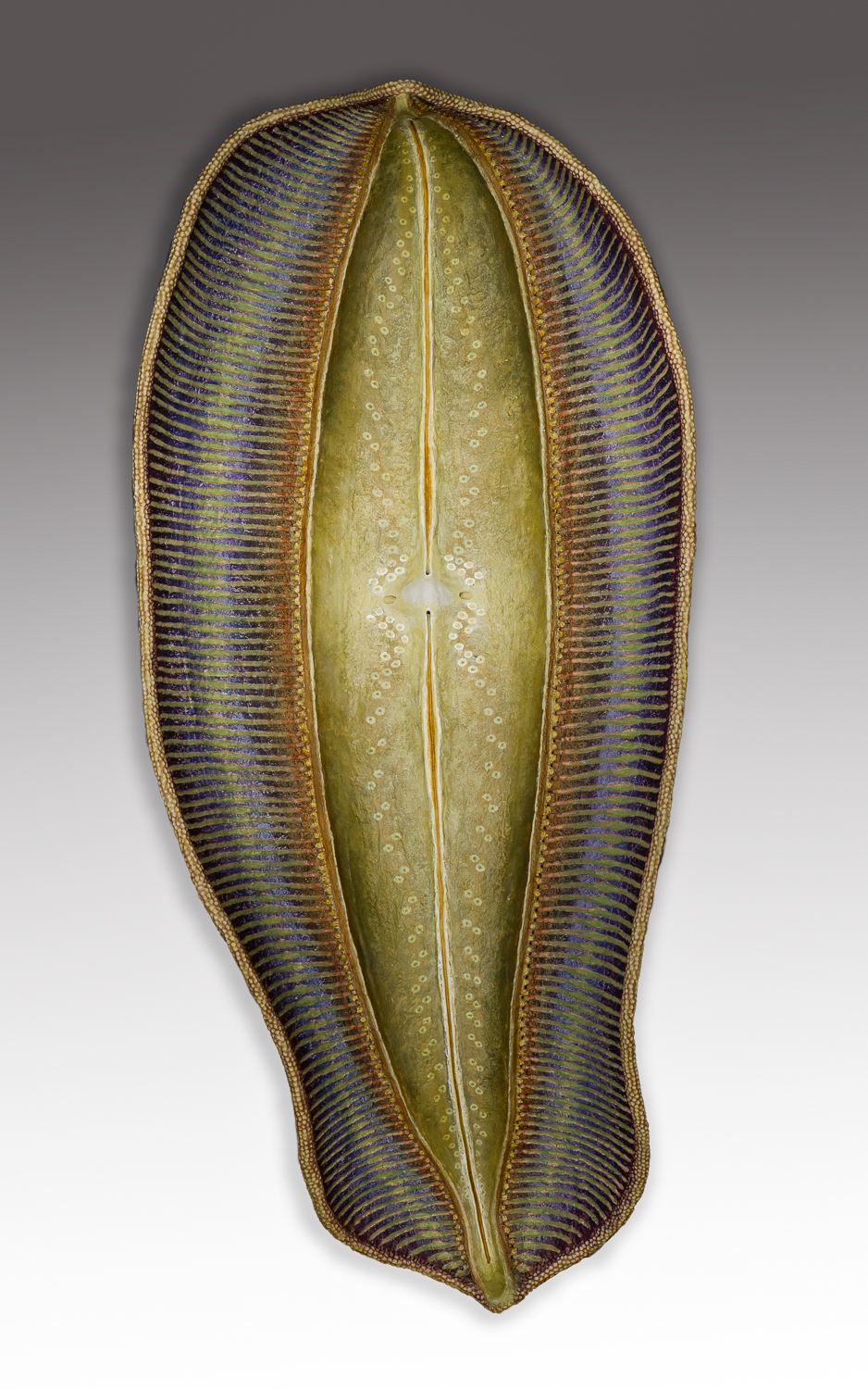 Diatom 6, 25.5 x 11.5 x 5 inches